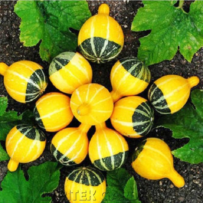 ฟักทองประดับ - Fancy Pumpkin