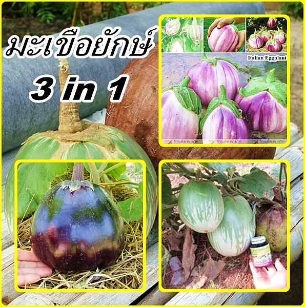 ชุดรวมมะเขือยักษ์ - Giant Eggplant 3 in 1