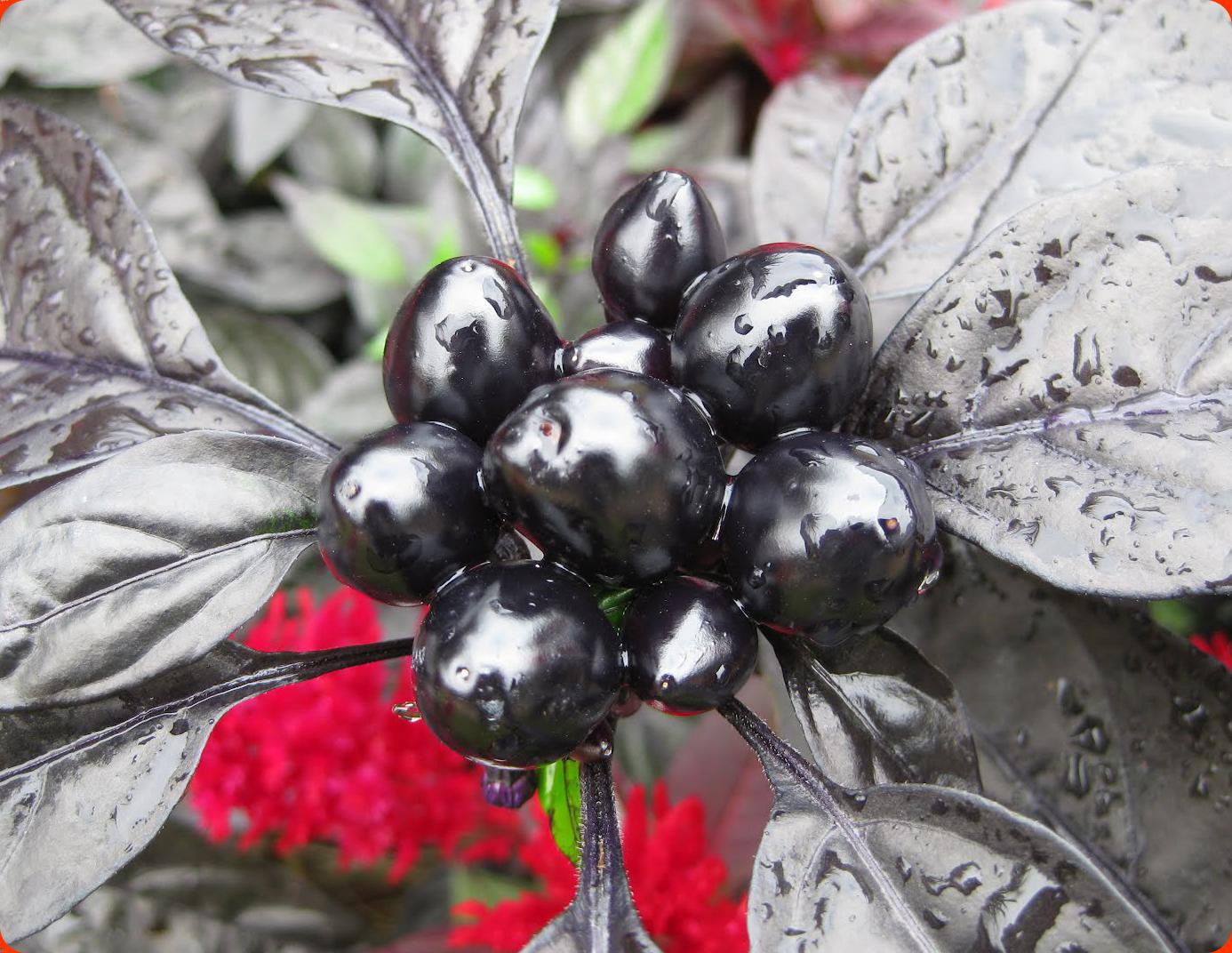 พริกประดับ ไข่มุกดำ - Black Pearl Pepper F1