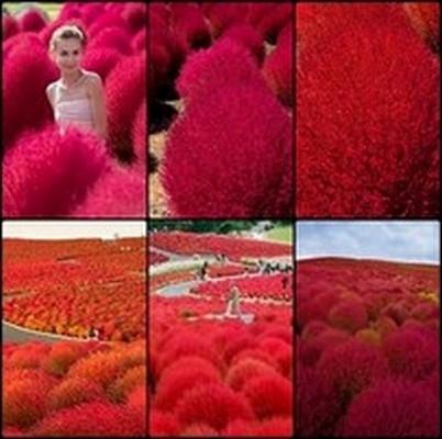 หญ้า เบิร์นนิ่ง บุช โคเชีย ซองละ 50 เมล็ด