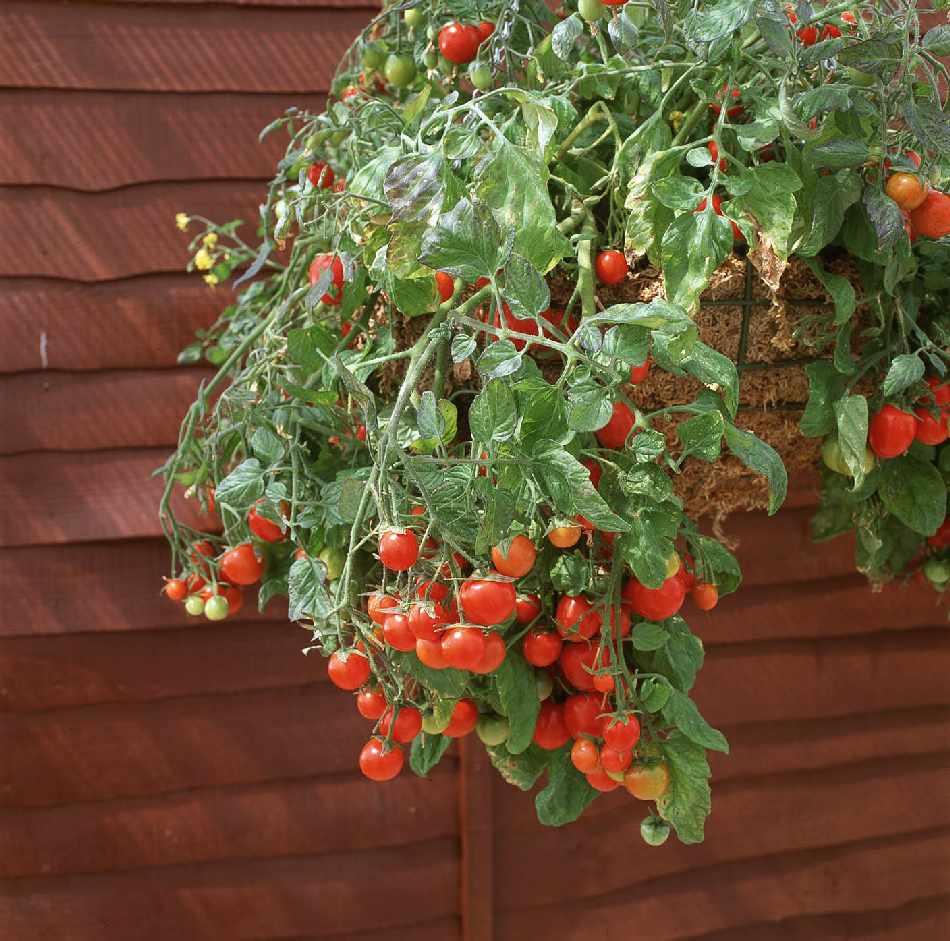 มะเขือเทศทรัมบลิ้งทอมสีแดง - Red Tumbling Tom Tomato F1