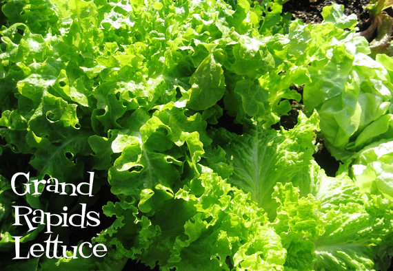 ผักสลัด แกรนด์เรฟพิด - Grand Rapids Lettuce