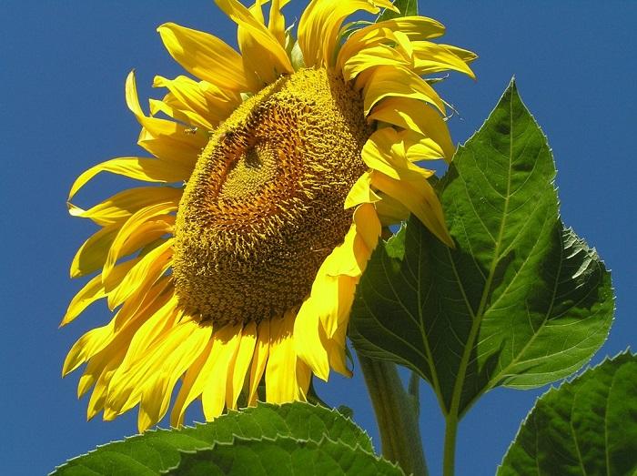 (Whole 1 Oz) ทานตะวันแมมมอธ - Mammoth Grey Stripe Sunflower