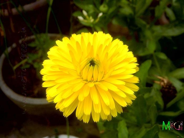 ดอกคาเลนดูล่า สีเหลือง - Calendula Bon Bon Yellow Flower