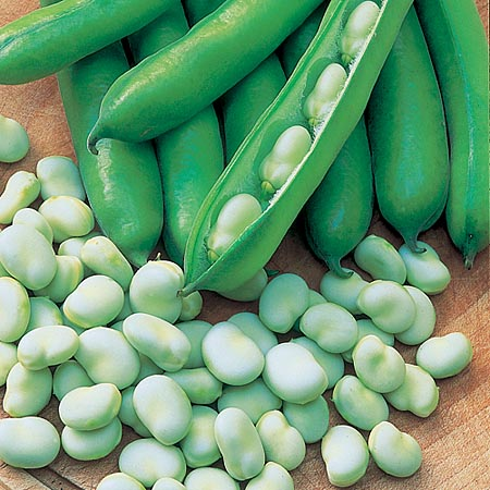 ถั่วปากอ้า - Fava Windsor Bean