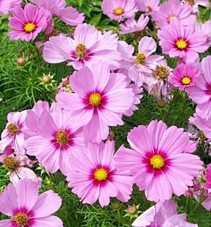 ดาวกระจายสีชมพู - Pink Cosmos Flower