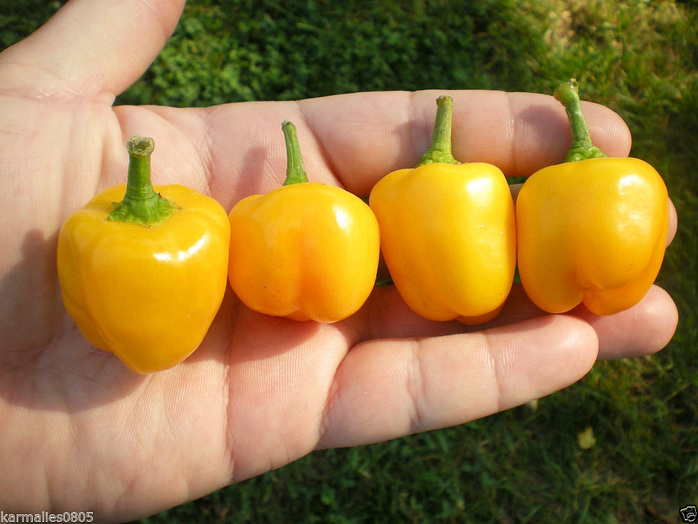 พริกหวานจิ๋ว สีเหลือง - Yellow Miniature Sweet Pepper