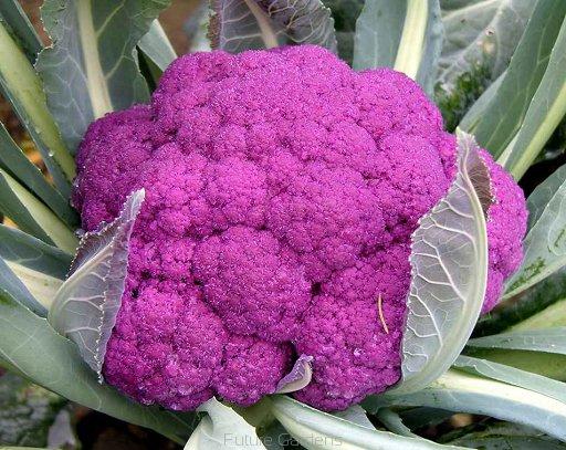กะหล่ำดอกสีม่วง - Purple Cauliflower F1