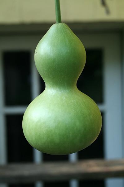 น้ำเต้าเซียนเล็ก(นาจา) - Small Bottle Gourd