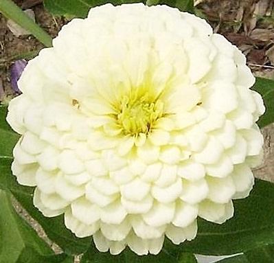 (Whole 1 Oz) ดอกบานชื่นสีขาว - White Zinnia Flower