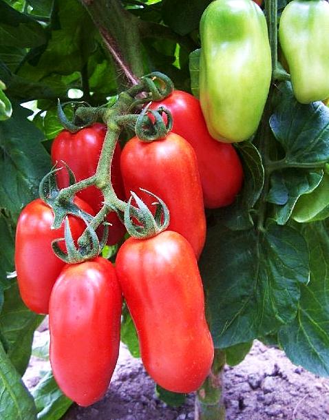 มะเขือเทศซานมาซาโน่ - San Marzano tomato