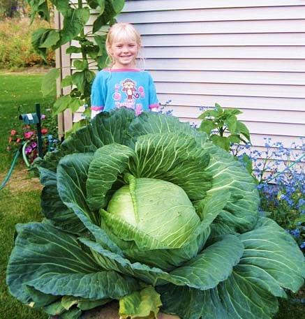 กะหล่ำปลียักษ์ - Giant Russian Cabbage