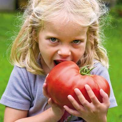 มะเขือเทศยักษ์ - Giant Belgium Tomato
