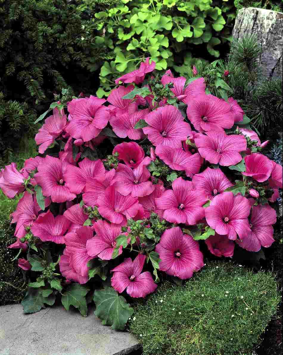 ดอกโรส มาลโลว สีชมพู 10 เมล็ด/ชุด