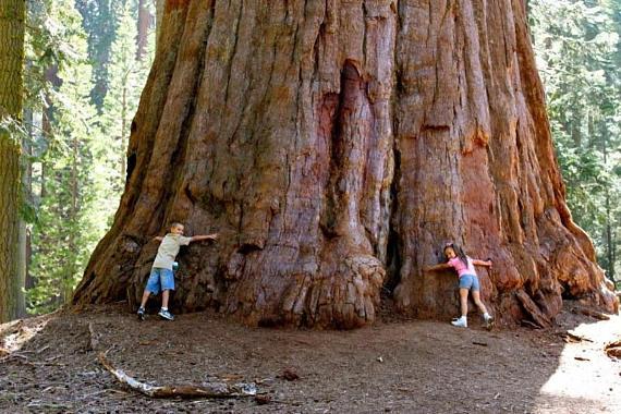 ต้นสนยักษ์ ซีคัวญา - Giant Sequoia Tree