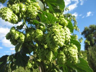 ฮอป (ทำเบียร์) - Common Hops Seeds
