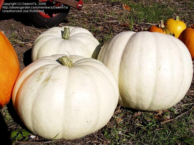 ฟักทองแคสเปอร์ - Casper Pumpkin