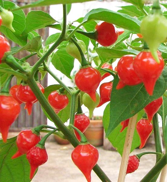 พริกไบควินโฮ - Biquinho Pepper