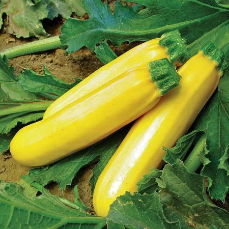 ฟักทองซูชินี่ โกลเด้น - Golden Zucchini Squash