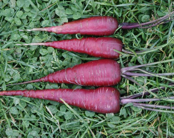 แครอทสีม่วง - COSMIC PURPLE CARROT