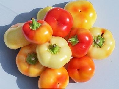 พริกอัลม่าปาปิก้า - Alma Paprika Pepper