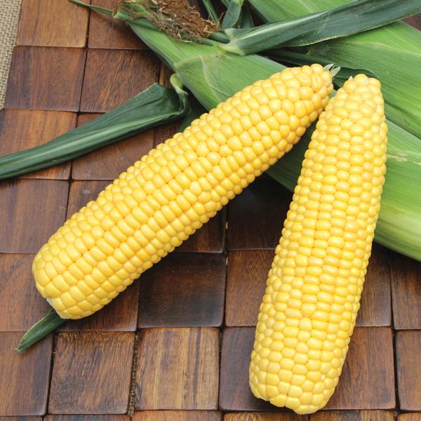 ข้าวโพดหวานเอ็กซ์ตร้า - Early Xtra Sweet Corn F1