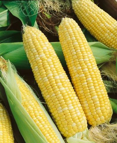 ข้าวโพดหวานเซอเรนดิพิตี้ - Serendipity Triple Sweet Corn F1