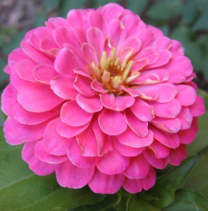 (Whole 1 Oz) ดอกบานชื่นสีชมพู - Pink Zinnia Flower