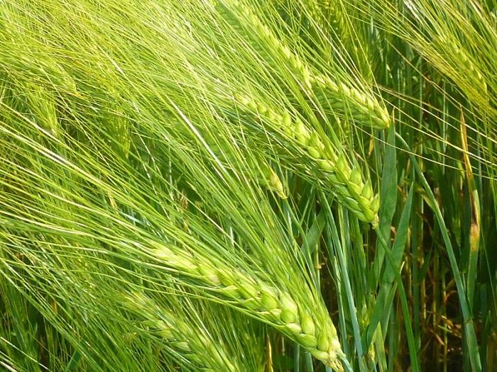 ข้าวบาร์เลย์ - Barley Rice