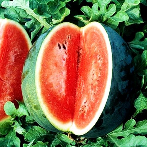 แตงโม ฟอริด้าใจแอ้น - Florida Giant Watermelon
