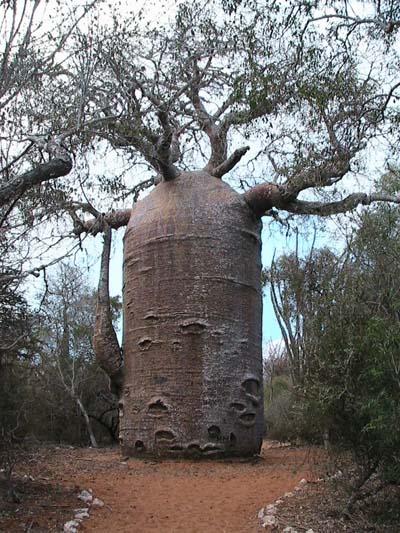 เบาบับเกรโกเร - Adansonia Gregorii Baobab