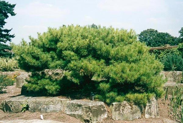 สนหินญี่ปุ่น