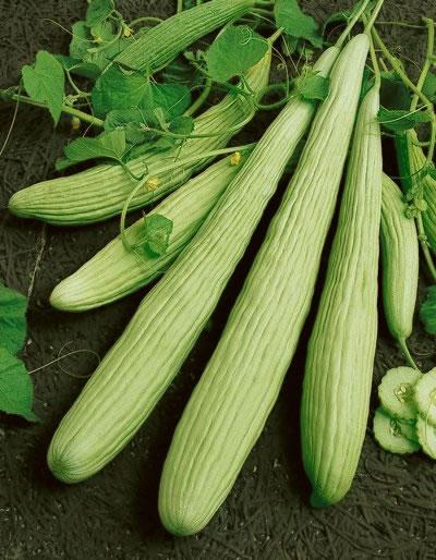 แตงกวายาว - Armenian Yard long Cucumber