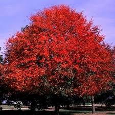 ต้นแบล็คกัม