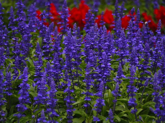 ดอกซัลเวียสีฟ้า ซองละ 30 เมล็ด