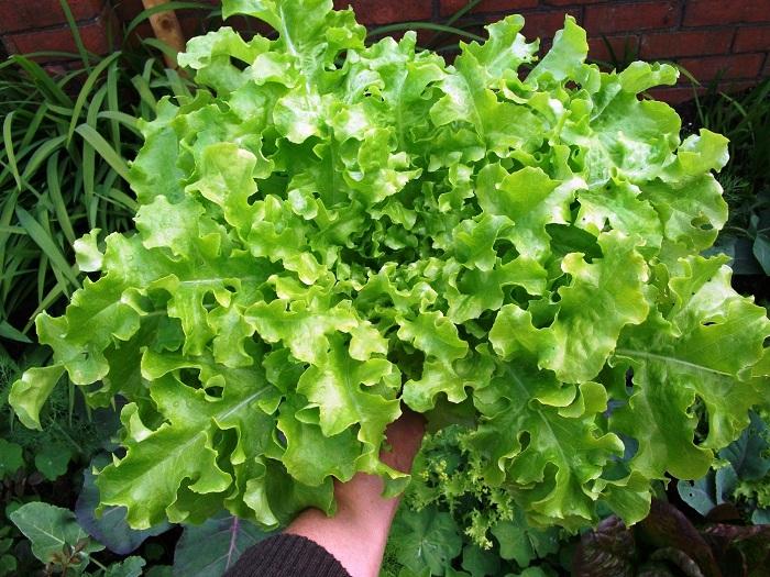 (Whole 1 Oz.) ผักสลัดโบว์ลเขียว - White Salad Bowl Lettuce