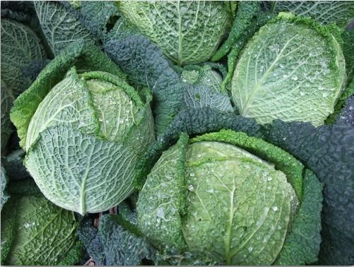 กะหล่ำปลี ซาวอย - Savoy cabbage