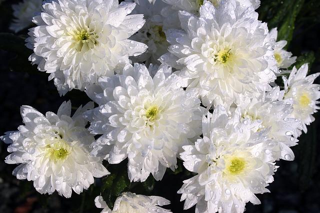 ดอกมัมสีขาว ซองละ 30 เมล็ด