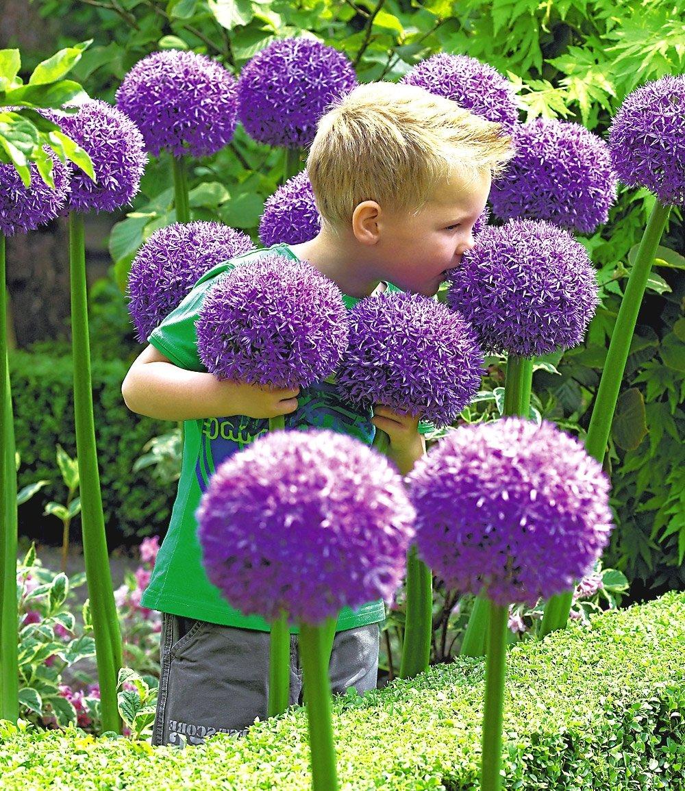 แอลเลี่ยมยักษ์ - Globemaster Allium