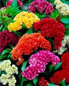 ดอกหงอนไก่ คละสี 30 เมล็ด / ชุด