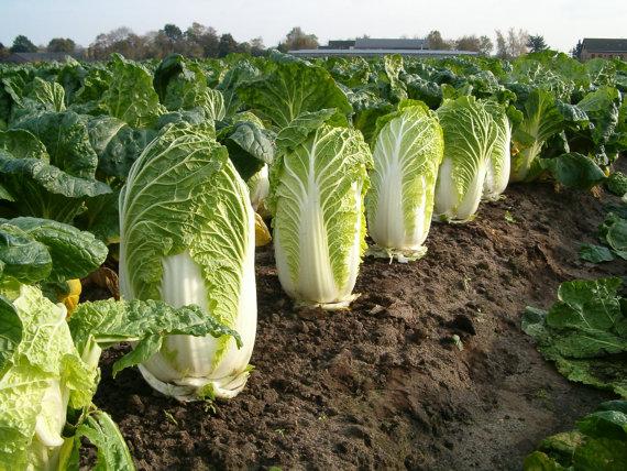 ผักกาดขาวมิชิฮิริ - Michihili Chinese cabbage