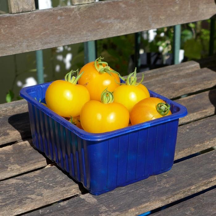 มะเขือเทศโกลเด้น ซันริส - Golden Sunrise tomato