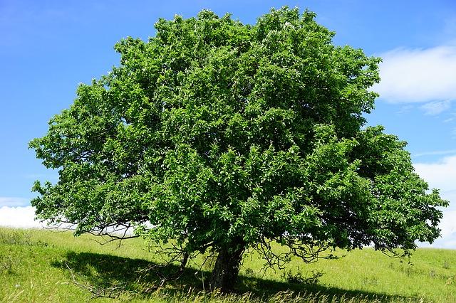 ต้นไวท์บีม ซองละ 5 เมล็ด