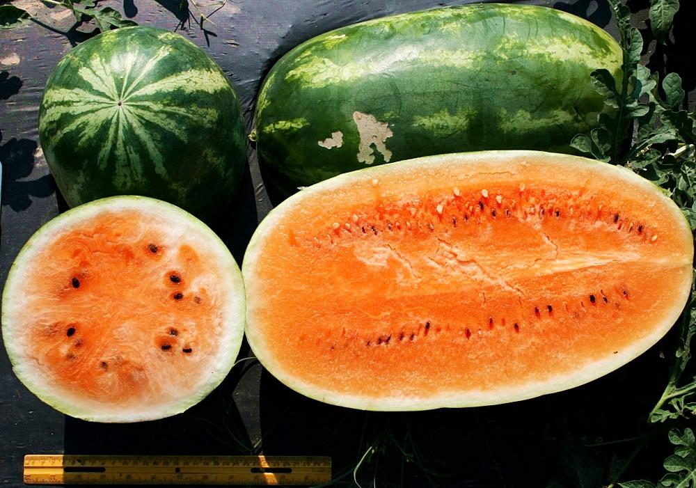 แตงโมเทนเดอร์สวีส - Tendersweet Orange Watermelon