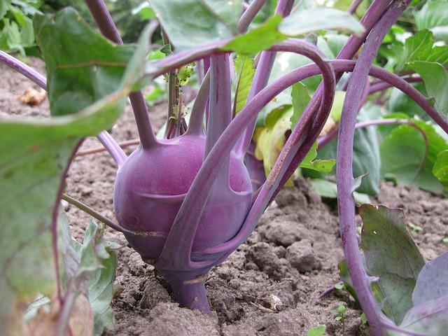 กะหล่ำปม พันธุ์เวียนนา สีม่วง ซองละ 100 เมล็ด