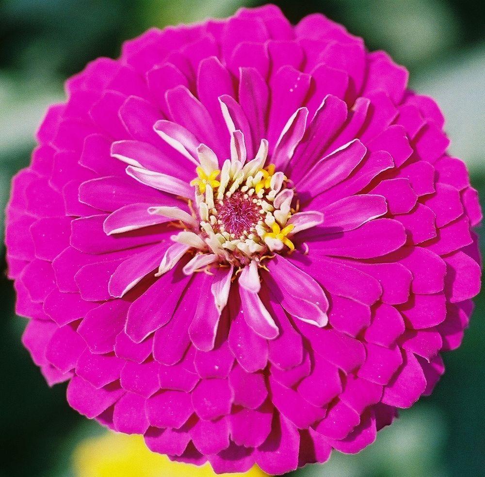 ดอกบานชื่นสีม่วง - Mixed Purple Zinnia Flower