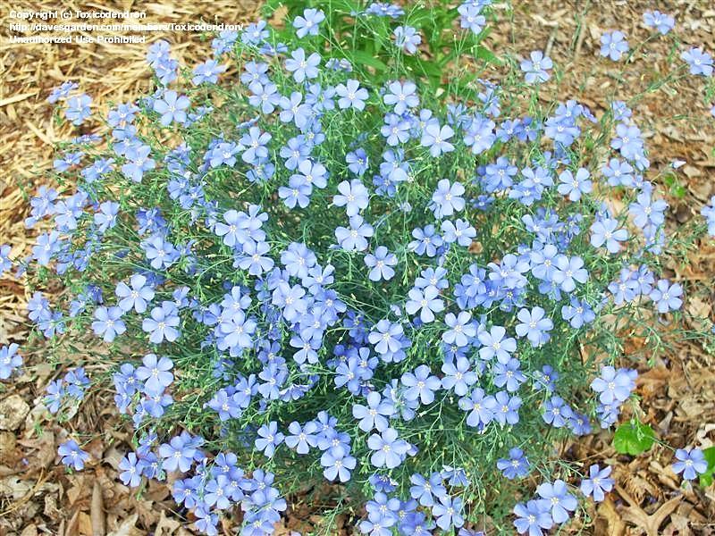 บลูเฟล็กซ์ - Blue Flax Flower
