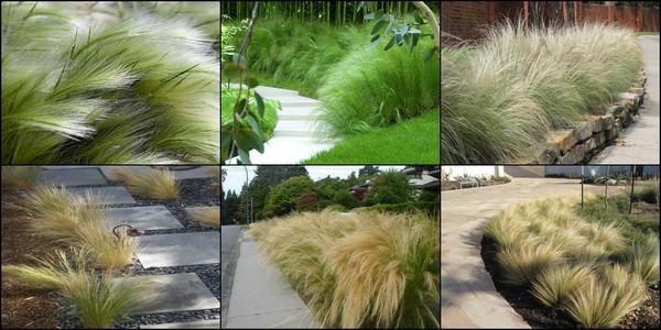 หญ้าเม็กซิกัน เฟทเธอร์ 10 เมล็ด/ชุด