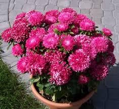 ดอกแอสเตอร์ มิเลดี้ โรส 10เมล็ด/ชุด
