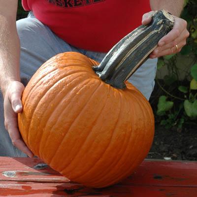 ฟักทองฮาโลวีน พันธุ์วอฟ - Wolf pumpkin